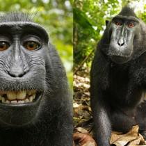 monkey-selfie-wikimedia