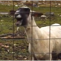 Sprint_Sheep_Commercial_Screenshot_011