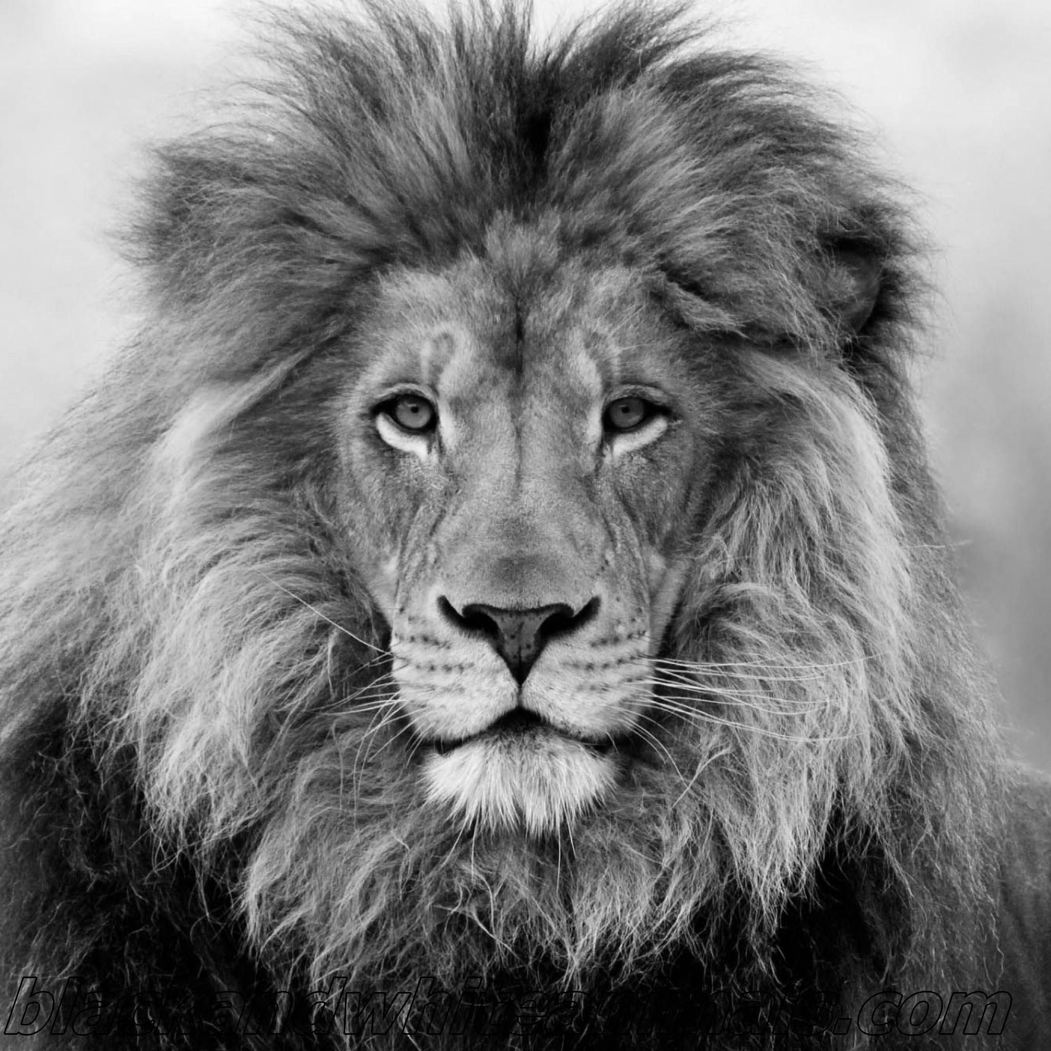 desktop-black-and-white-photos-of-animals-wallpaper