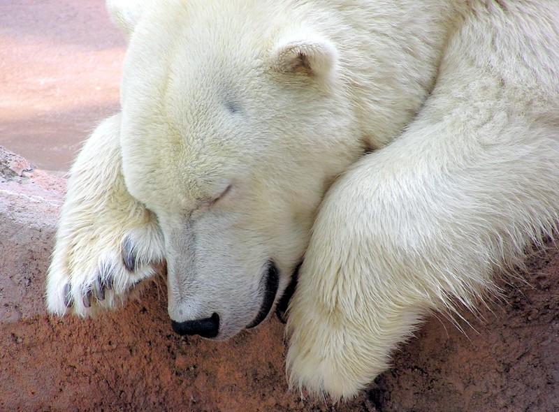 polar_bear_by_rwgp.jpg?itok=ybwGVBEx