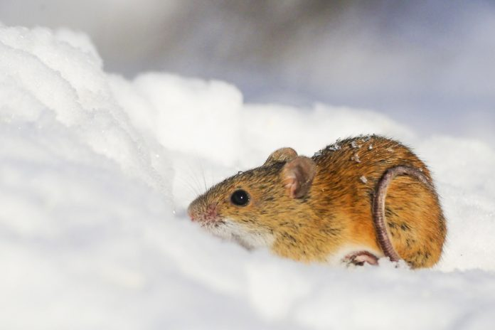Scientists genetically engineer a mouse that is immune to cocaine addiction