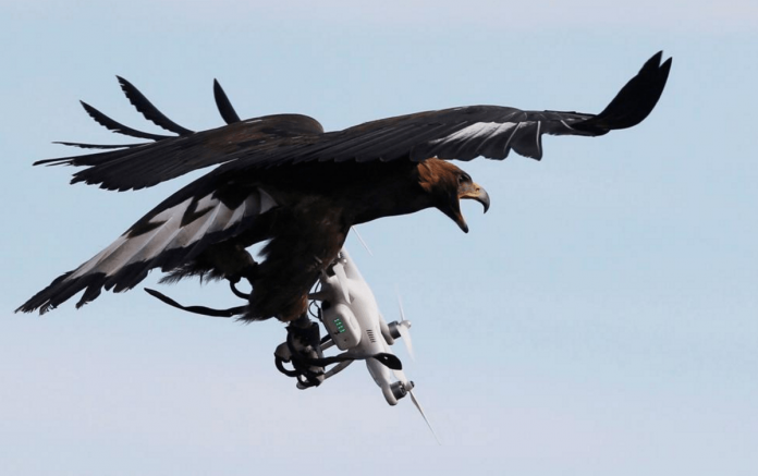 Eagle attack! France trains bird of prey to take down rogue drones