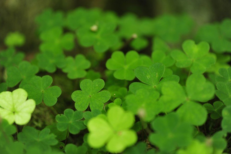 four_leaf_clover_wallpaper_by_pohlmannma