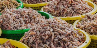 Shrimp from the Sahara sounds crazy, but it may be the future of aquaculture