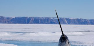 This drone footage finally reveals how narwhals use their long tusks