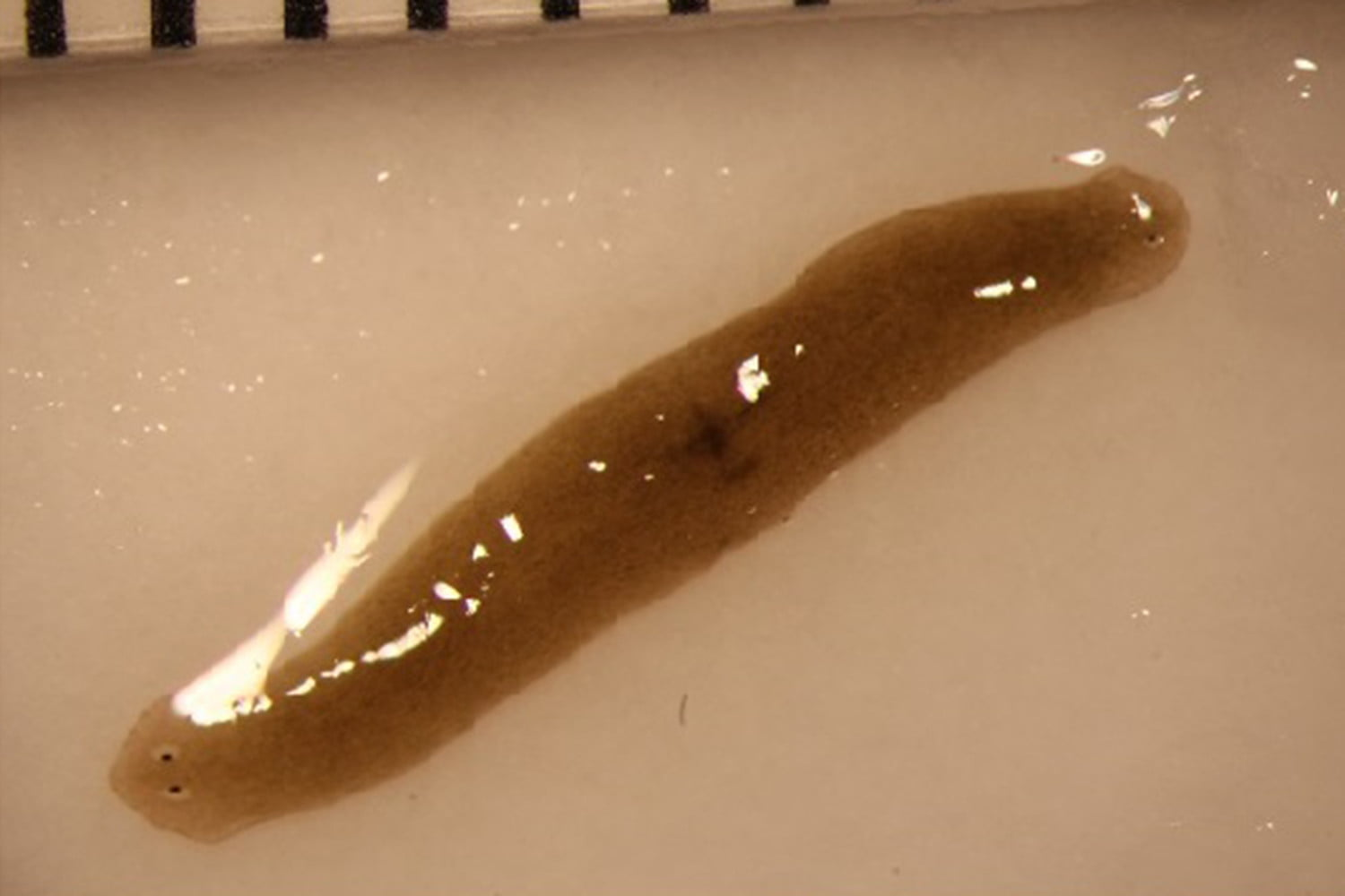 flatworm space exomedicine study
