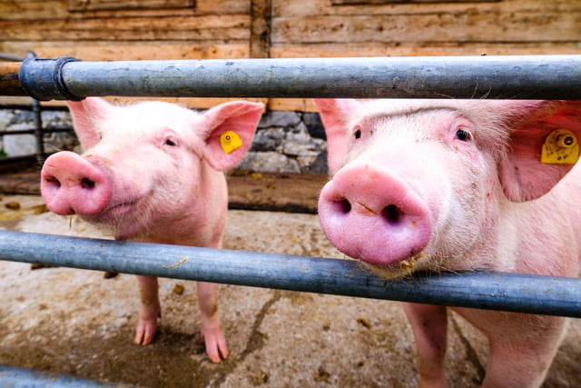 Could gene-edited pigs be used as organ donors for humans?
