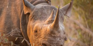 Pembient fights poachers by 3D printing incredibly realistic fake rhino horns