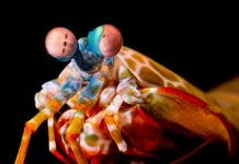 Mantis shrimp are the inspiration for this new polarized light camera