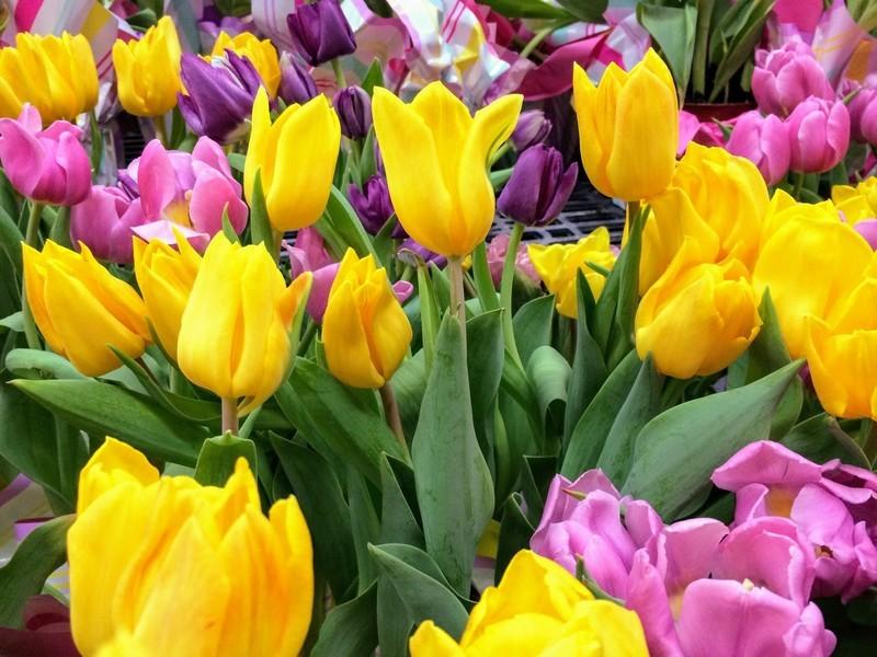 tulips.jpg?itok=GfNMLTVz