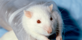 DeepSqueak is a machine learning A.I. that reveals what rats are chatting about