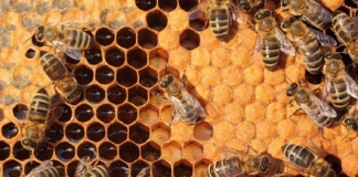 A hive of activity: Using honeybees to measure urban pollution