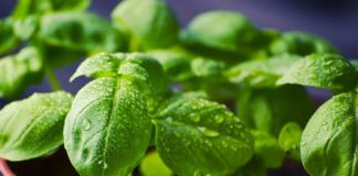 How MIT hacked horticulture to cultivate a hyper-flavorful basil plant