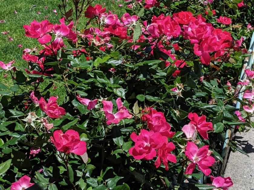 Google Pixel 3a XL Camera Review Daylight rose bush