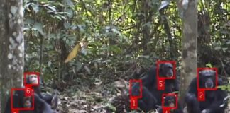 A.I. researchers create a facial-recognition system for chimps