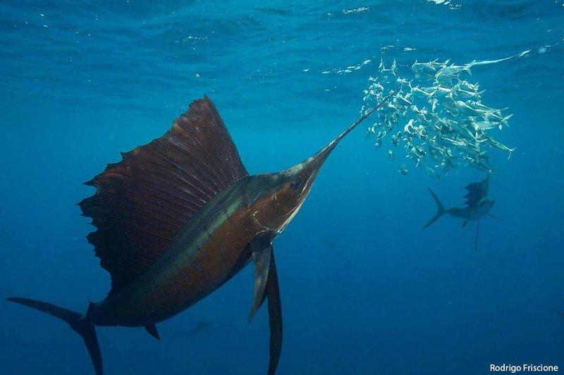 sailfish.jpg?itok=sa0SGati