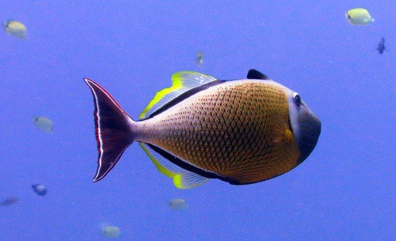 crosshatch-triggerfish.jpg?itok=isAaWyw9