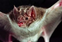 How glow-in-the-dark vampire bats are helping scientists solve a $50M problem
