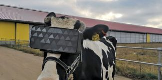Virtual reality goggles for dairy cows? Pull the udder one