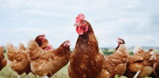 CRISPR gene editing could help stop a common poultry virus in its tracks