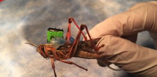 Neural implant turns regular grasshoppers into cyborg bomb-sniffers