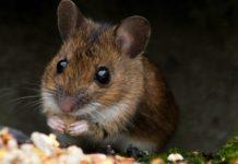 A.I. translation tool sheds light on the secret language of mice