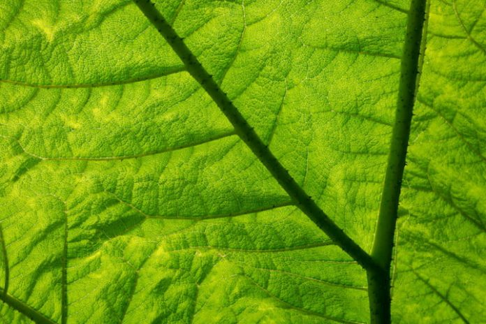 Hacking photosynthesis: Could artificial leaves fuel the future?