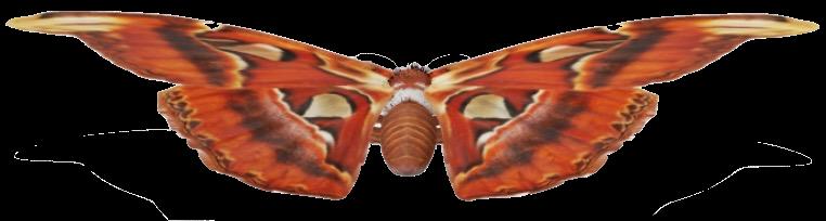 atlas-moth-google-3d.png