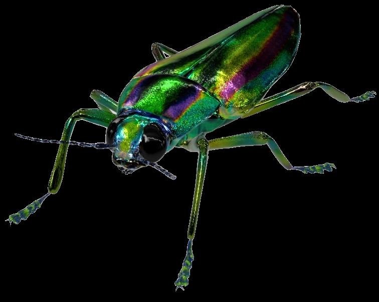 jewel-beetle-google-3d.png