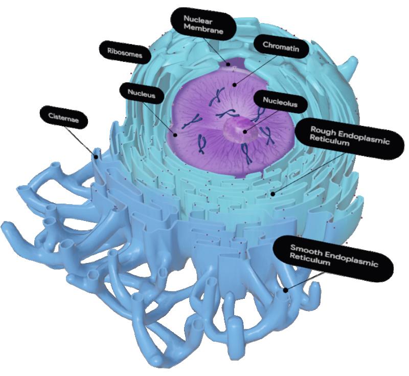 endoplasmic-reticulum-google-3d.png