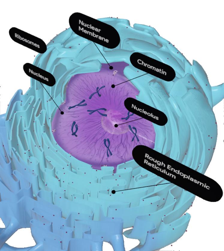 rough-endoplasmic-reticulum-google-3d.pn