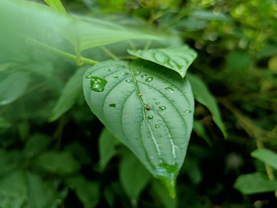 Xiaomi Mi 10 Ultra 5x camera sample of a wet leaf